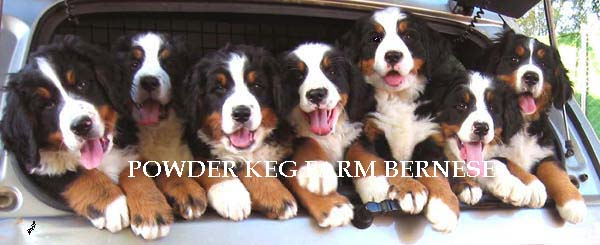 BERNESE PUPPIES UTAH