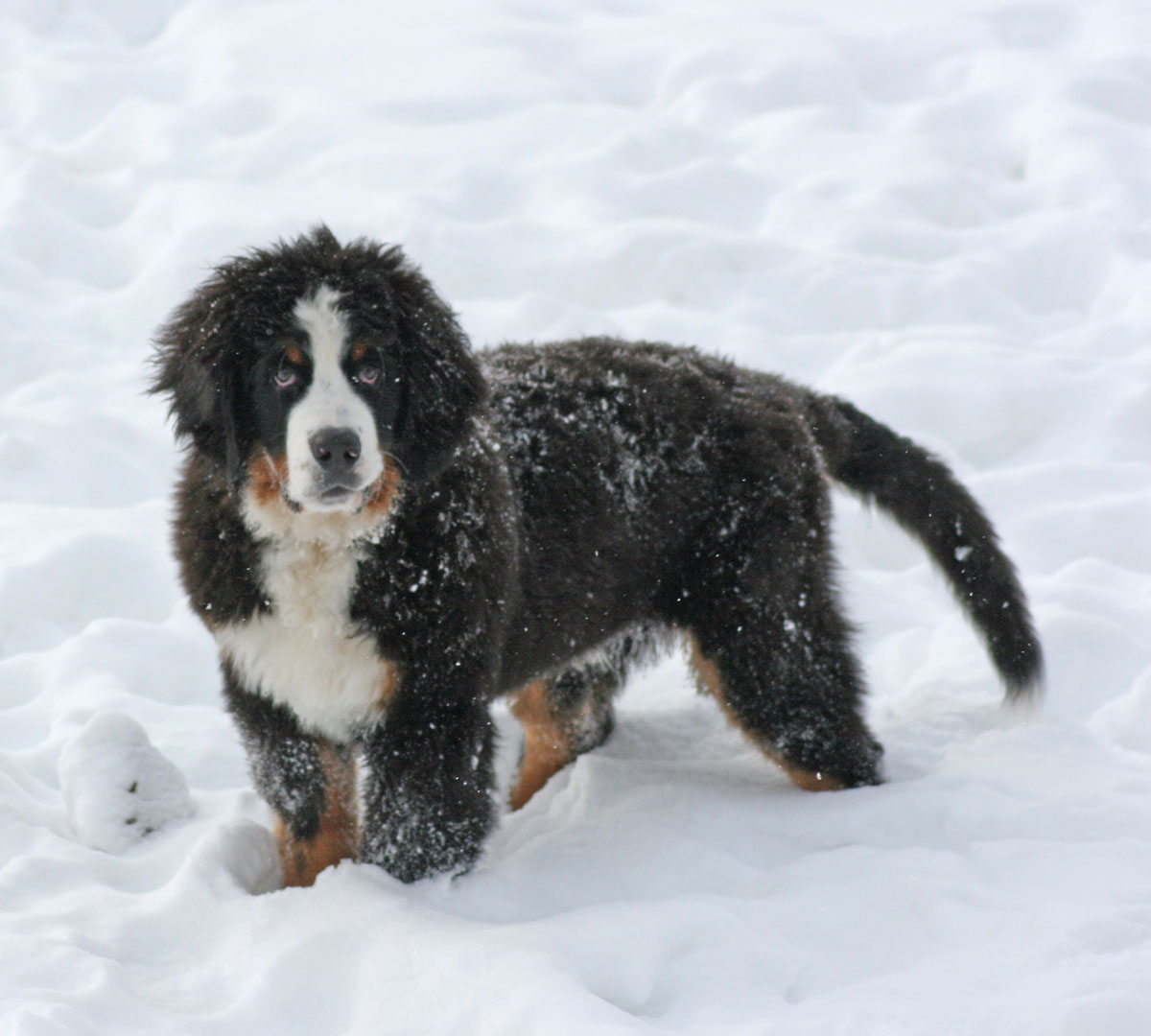 Bernese Aristotle