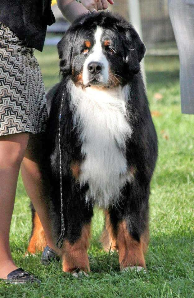 Bernese Mountain Dogs Utah