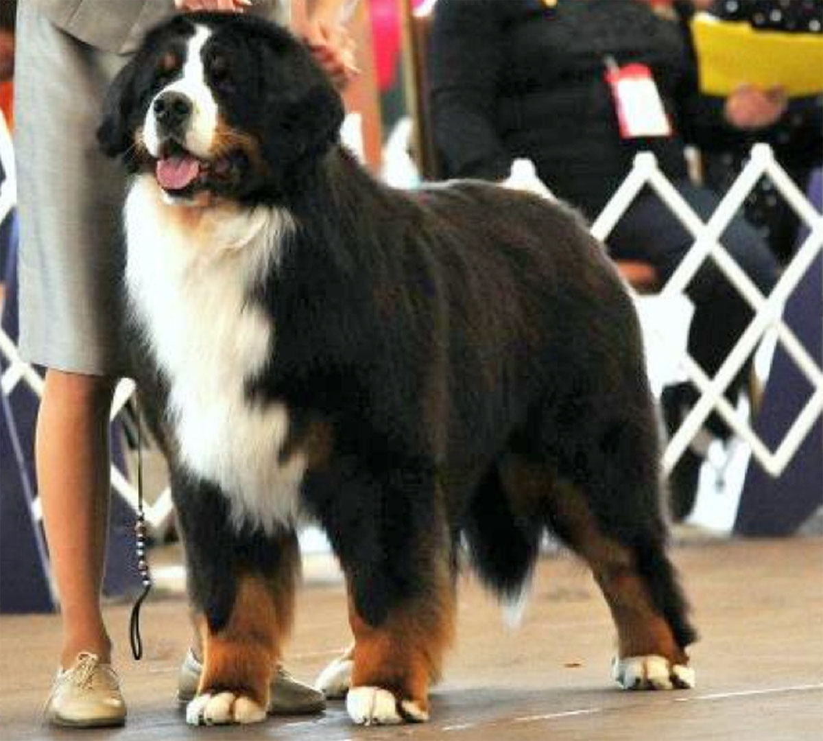 Bernese mountain dogs  Utah Beowulf