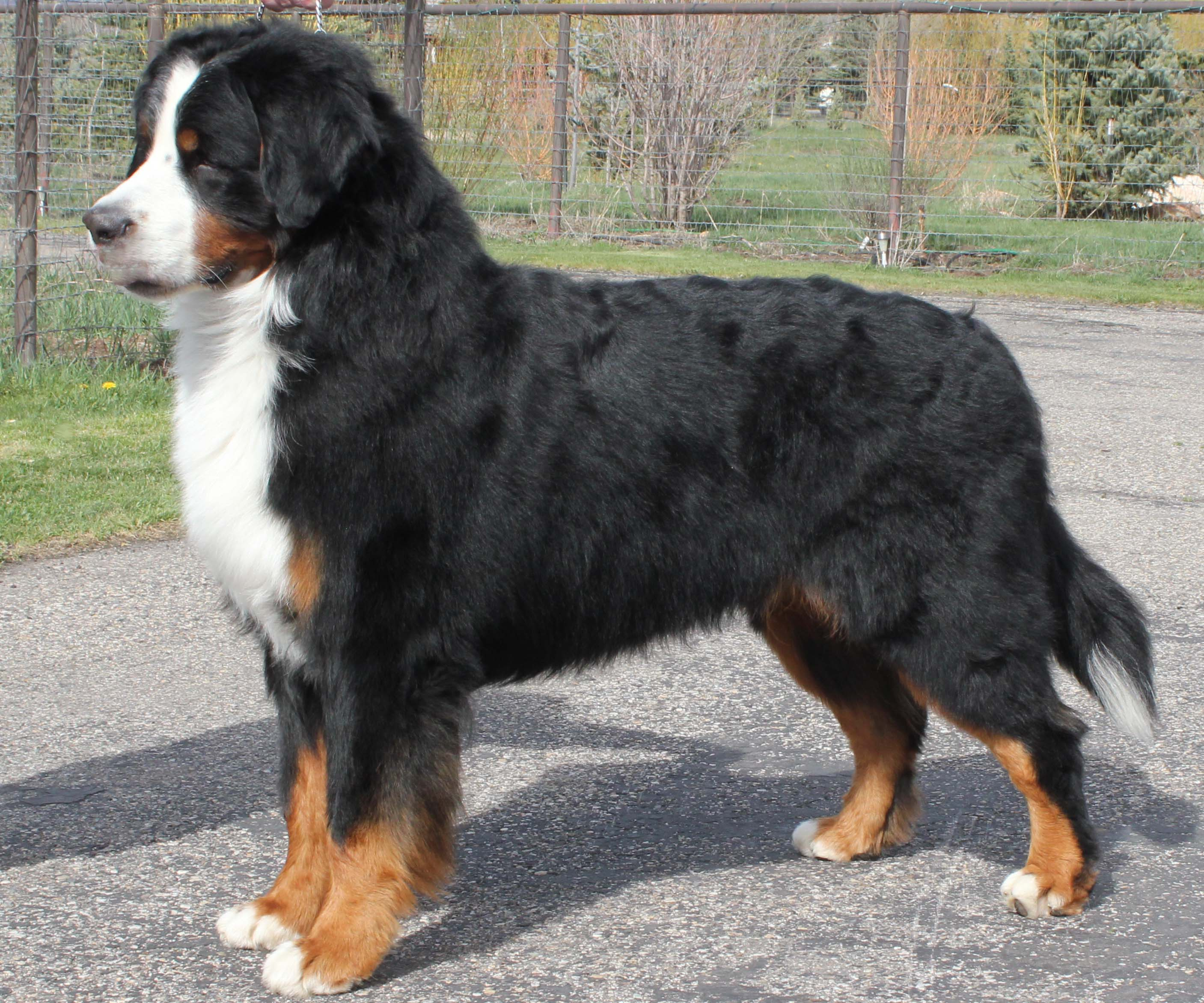 Bernese mountain dog  breeders Utah