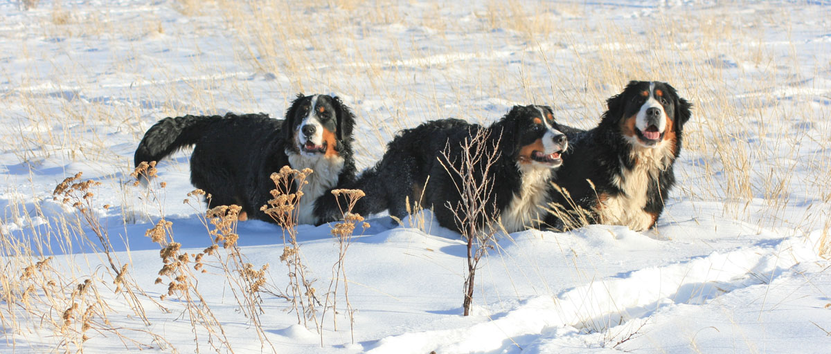 Bernese the three amigos